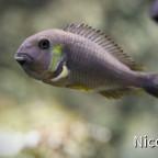 Tropheus brichardi canary cheek (F1) - Tragendes Weibchen